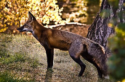Fox ~ Eso