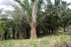 Palm Plantation In Limbe Cameroon