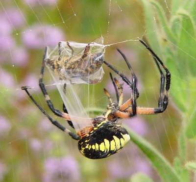 Spider ~ (Liwove)