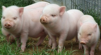 Ngowa ~ Pigs