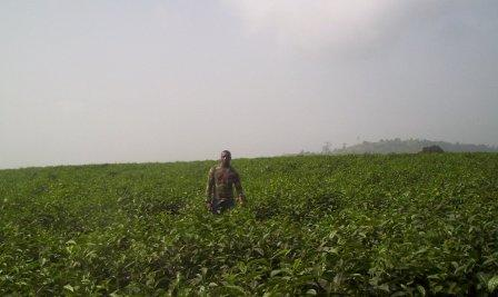 Tole_tea_plantations_in_2006